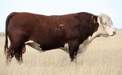 HH ADVANCE 7034T ET :: Holden Hereford Herd Sire
